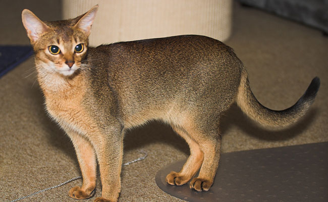 ic-abyssinian