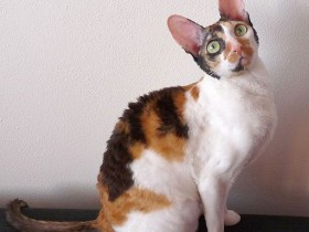 ic-cornish_rex